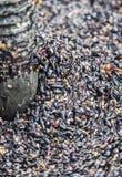 Виноградины утиля полученные после отжимать Стоковые Фотографии RF