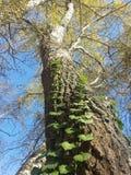 树冠 库存图片