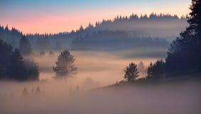 日出的杉树森林 库存照片