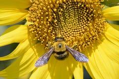 一只蜂的特写镜头在向日葵的 免版税库存照片