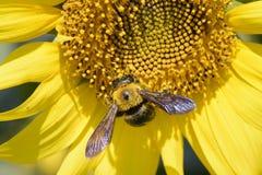一只蜂的特写镜头在向日葵的 库存图片