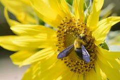 一只蜂的特写镜头在向日葵的 免版税库存图片