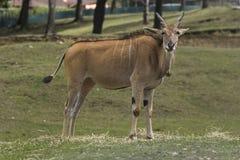 Молодой роговой животный вахта Стоковое Изображение RF