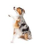 Послушливая австралийская собака чабана предлагает лапку Стоковая Фотография