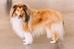 红色粗砺的大牧羊犬狗 免版税库存照片