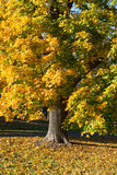 Осень падения красит листья желтого цвета дерева клена Стоковые Изображения