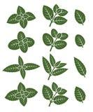Установленные листья мяты вектор Стоковое фото RF