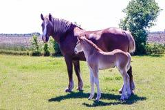 门诺派中的严紧派的母马和驹 免版税库存照片