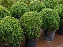 修剪的花园灌木 免版税图库摄影