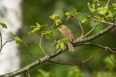 Певчая птица вербы Стоковые Фото