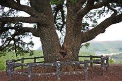 一棵大杉树 免版税库存图片