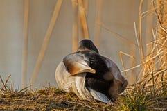 在日出做准备的一只野鸭 免版税图库摄影