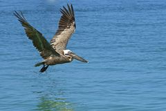 飞行在海的鹈鹕在托尔托拉岛加勒比 免版税库存图片