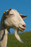 与胡子的山羊 免版税库存照片