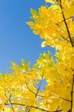 与黄色叶子的秋天背景在蓝天 免版税图库摄影