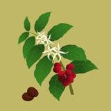 阿拉伯咖啡咖啡属咖啡工厂 免版税图库摄影