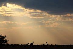 长颈鹿-非洲野生生物背景-史诗剪影 免版税图库摄影