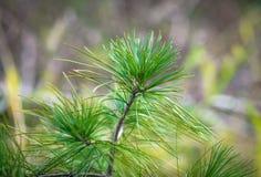 Ветви сосенки Стоковое Изображение RF