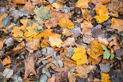 Τα ζωηρόχρωμα φθινοπωρινά πεσμένα φύλλα βάζουν στο κρύο έδαφος Στοκ εικόνα με δικαίωμα ελεύθερης χρήσης