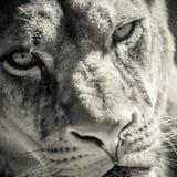 雌狮画象 图库摄影