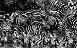 黑色饮用的空白斑马 免版税图库摄影