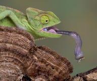 变色蜥蜴舌头 免版税库存图片