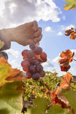 色的被日光照射了葡萄园 免版税库存照片