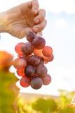 色的被日光照射了葡萄园 免版税图库摄影