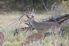 Доминантный самец оленя наблюдая сверх делает Стоковое фото RF