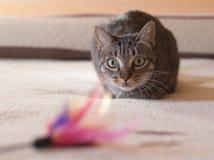 偷偷靠近他的羽毛玩具的猫 库存照片