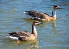 漂浮在水的两灰色鸭子 免版税图库摄影