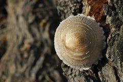 在森林采蘑菇的蘑菇 秋天 可食和毒蘑菇 子实体 库存照片