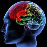 εγκέφαλος Στοκ φωτογραφία με δικαίωμα ελεύθερης χρήσης