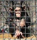 猿 库存图片