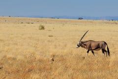 走在纳米比亚沙漠的大羚羊或大羚羊羚羊属 免版税库存图片