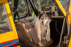坐在驾驶舱内的狗 免版税库存图片