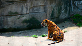 китайский тигр Стоковые Изображения RF