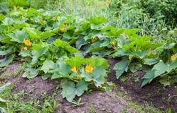 与绿色的夏南瓜在菜园把生长留在 免版税库存图片