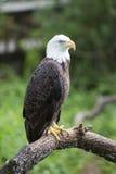 白头鹰朝向 图库摄影