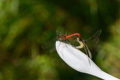 联接的对蜻蜓 免版税库存图片