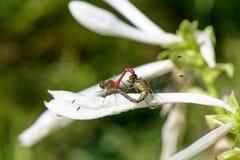 联接的对蜻蜓 库存照片