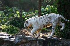 孟加拉四处觅食的老虎白色 免版税库存图片