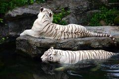 空白游泳的老虎 免版税图库摄影