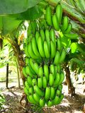 香蕉束 库存图片
