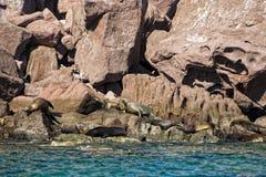 封印海狮在下加利福尼亚 免版税库存图片