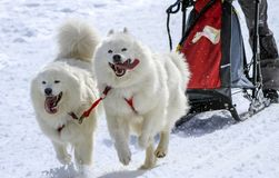 雪撬在赛跑的速度的萨莫耶特人狗,青苔, 库存图片