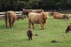 高地牛母牛和绵羊在农场 免版税库存图片