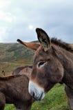 驴 免版税图库摄影