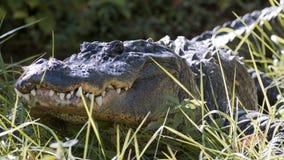 美国短吻鳄潜伏 免版税库存照片