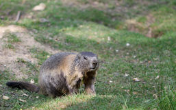 站立在绿草的高山土拨鼠 免版税库存照片